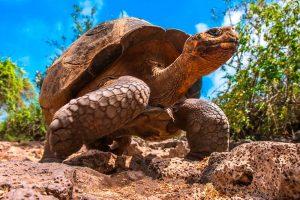 Tortuga Gigante de Galápagos, Islas Galápagos