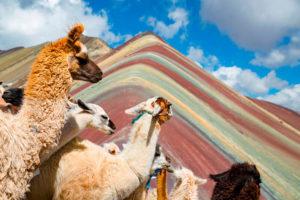 Llamas en la Montaña de Colores