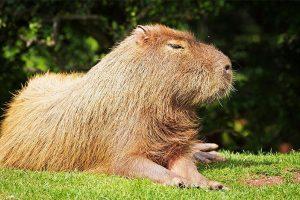 Capibara Tambopata