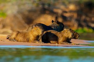 El carpincho, capibara, ronsoco, chigüire o chigüiro